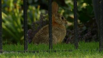 Rabbits Shot in Rancho Bernardo Neighborhood