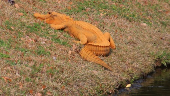 Orange Gator Puzzles South Carolina Residents