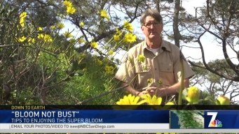 Too Many Superbloom Admirers Take Toll on Landscape