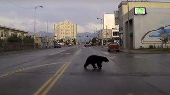 Police Chase Black Bear Through Alaska City