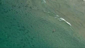 Swim With the Sharks off La Jolla Coast