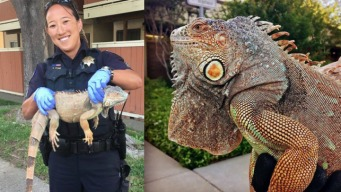 Vacaville Police Return 'Errant Iguana' to Owner