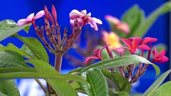 Plumeria Festival to Be Held This Weekend