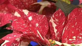 Poinsettias: How to Keep, Pronounce