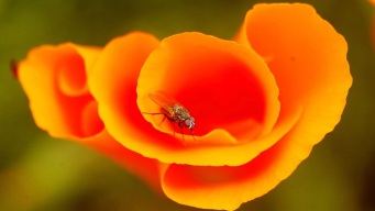 Let's Talk Poppies, Flower People of SoCal