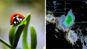 Massive Ladybug Swarm Over California Shows Up on Radar