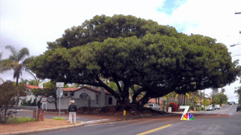 About San Diego: Leafy and Large
