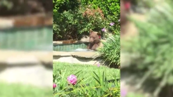 Margarita-Loving Bear Takes a Dip in a California Hot Tub