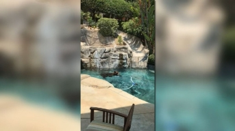 WATCH: Bear Takes a Dip in Backyard Pool on Hot Calif. Day