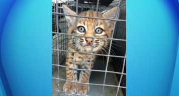 Baby Bobcat Rescued by Homeless Trio