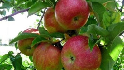 Oak Glen's Apple Season Is Ripe and Ready