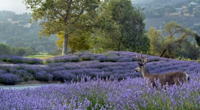 Lavender Is the Star at This Carmel Valley Ranch Fest