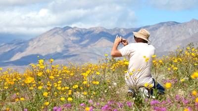 Like 'Old Times,' Robust Bloom Blankets Anza-Borrego Desert