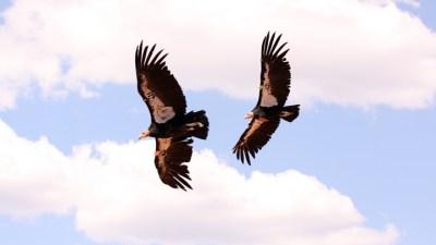 Condor Release at Redwood National Park