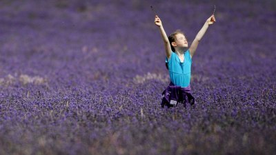 Lavender's the Star in Ojai