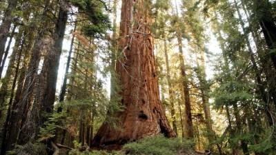 Spooky Sequoias