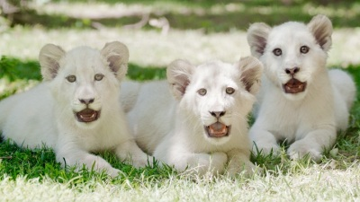 Mirage Roar: Three New Lion Cubs Debut