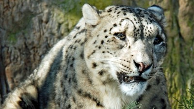 Snow Leopards Romp in Santa Barbara