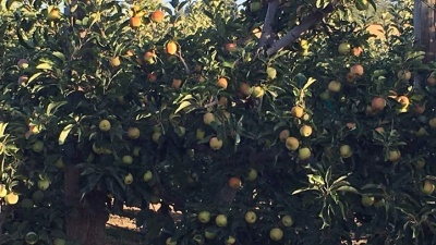 Volcan Valley Apple Farm: U Pick Opening
