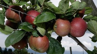 Oak Glen: Apple Season Opens