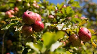 Volcan Valley's U-Pick Apple Season to Open