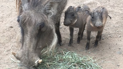 Warthog Babies Summon the Squees at Safari West