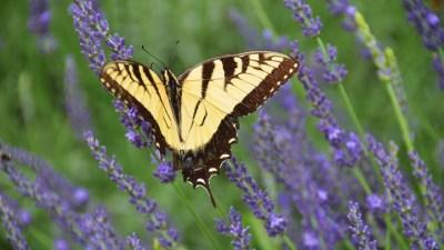 Golden State Purple: Lavender Days