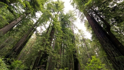Redwoods Top Lonely Planet's 'Best in the U.S.'