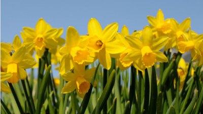 80,000 Daffodils Abloom
