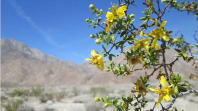 Desert Wildflowers in Bloom
