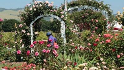 Rose Wonderland Opening Its Petals in Healdsburg