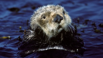 Awww Over Sea Otter Awareness Week