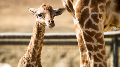 Two Ringos to Love in California: A Starr and a Giraffe