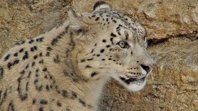 Snow Leopards of the American Riviera