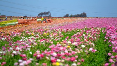 The Flower Fields, by Tractor and Air