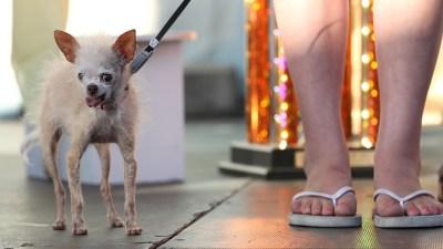 Lovable, Photographable, Soon: Ugliest Dog Contest