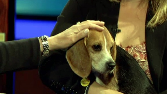 Rescued Beagles Looking for Love
