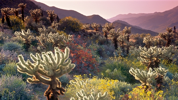 Signs Point To Banner Bloom At Anza Borrego Desert