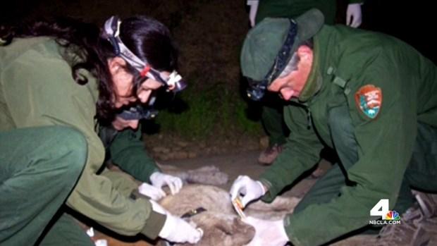 [LA] Mountain Lion Found Sick After Re-Capture