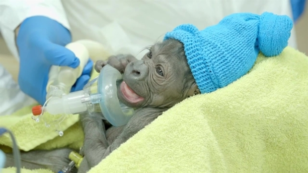 Baby Gorilla Born at San Diego Zoo Safari Park