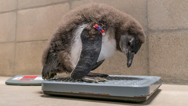 Cutest Critters: 1st Penguin Chicks Born at SD Zoo