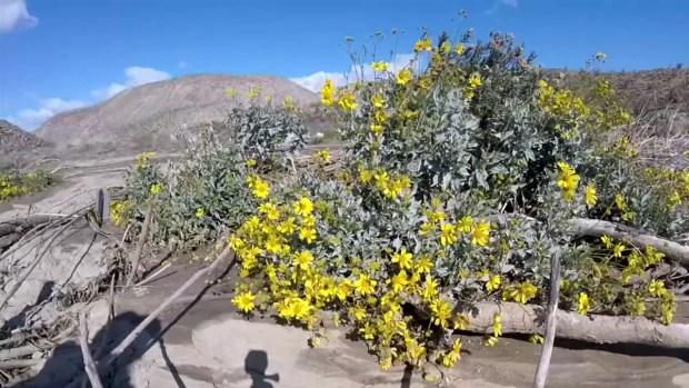 CLIP-Flower Bloom 2019 Anza Borrego