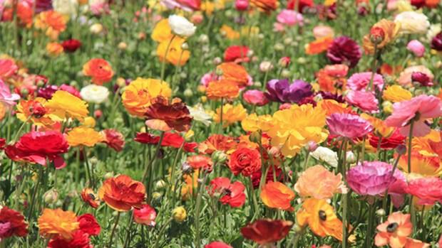 Carlsbad Flower Fields: 2019 Season