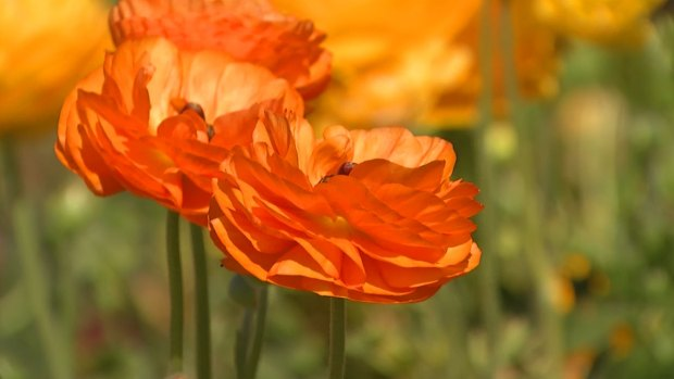 Flower Fields in Carlsbad to Open for Spring