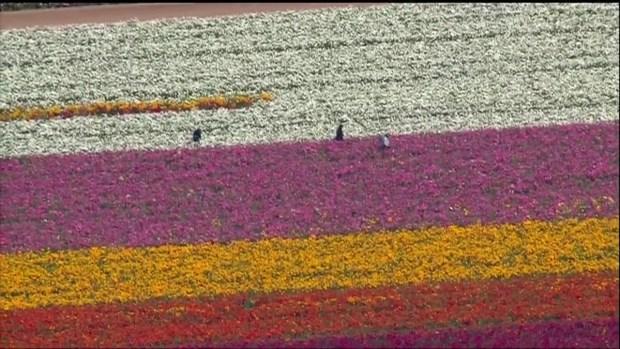 Beautiful Blooms: The Flower Fields in Carlsbad