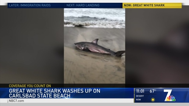 Great White Shark Washes up on Carlsbad Beach