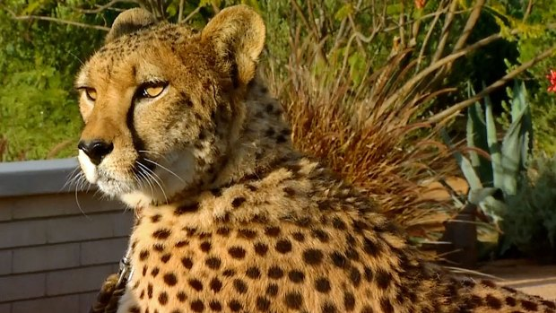 [DGO] Cheetah Conservation Fund