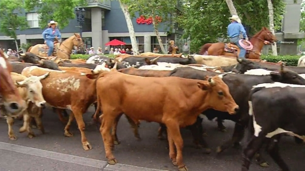 [DGO] Watch: Cattle Stroll Through Downtown SD