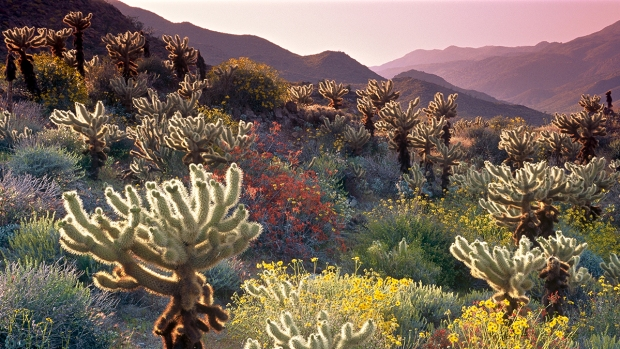 [DGO] Signs Point to Banner Bloom at Anza-Borrego Desert