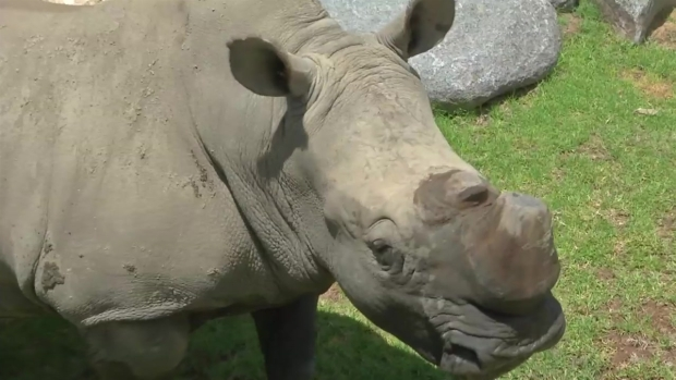 [DGO] Scientists Look to Artificially Breed White Rhinos